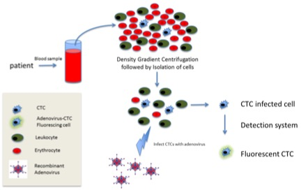 Figure 1 Technology Overview. Blood is isolated from cancer patients and the cells are isolated by density gradient centrifugation. Next, a recombinant adenovirus vector is used to infect the circulating tumor cells (CTCs). The vector detects the high telomerase activity in virtually all tumor cells (but which is lacking in normal cells) by driving amplified expression of a fluorescent protein. Thus only tumor cells will fluoresce, which are then detected by standard means, and can subsequently be isolated and further characterized by Liquid Biotech's proprietary methods.